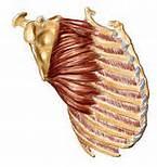 肩甲骨の解剖画像