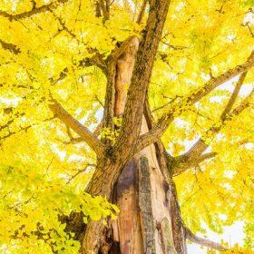 洞峰公園(茨城県つくば市)のイチョウのイメージ写真
