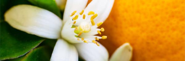ビターオレンジの花「ネロリ」