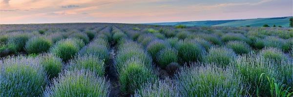 ラベンダー畑の風景