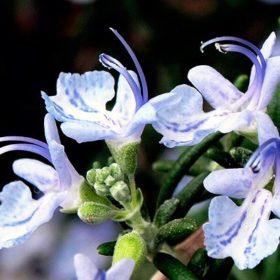 青白いローズマリー