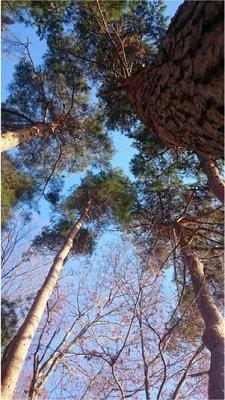 松を見上げる