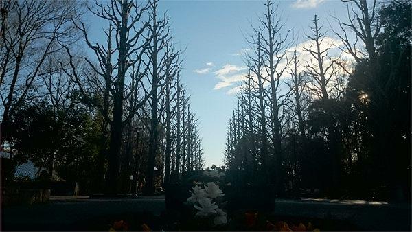 洞峰公園の春のイチョウ並木